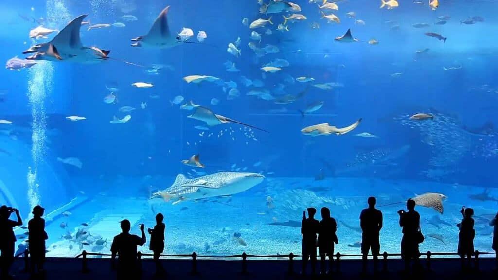Okinawa Churaumi Aquarium Tour Ke Jepang